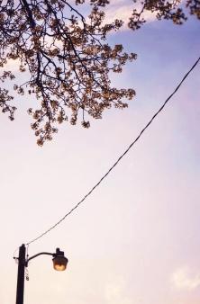 Pear Blossoms, Spring Sky