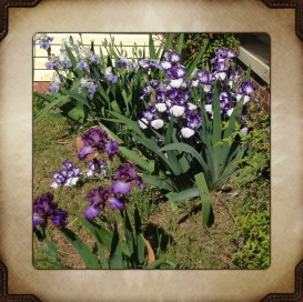 Irises from the Grandmothers